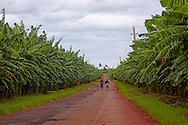 Banana plantation in the Palma Rubia area, Pinar del Rio, Cuba.