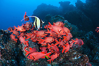 Schooling Squirrelfish and Moorish Idol<br /> <br /> <br /> Shot at Cocos Island, Costa Rica