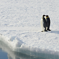 A pair of Emperor Penguins by the Russian Icebreaker Vladimir Ignatyuk in Antarctica.