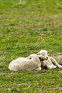 Lambs, napping east of Shawmut, Montana
