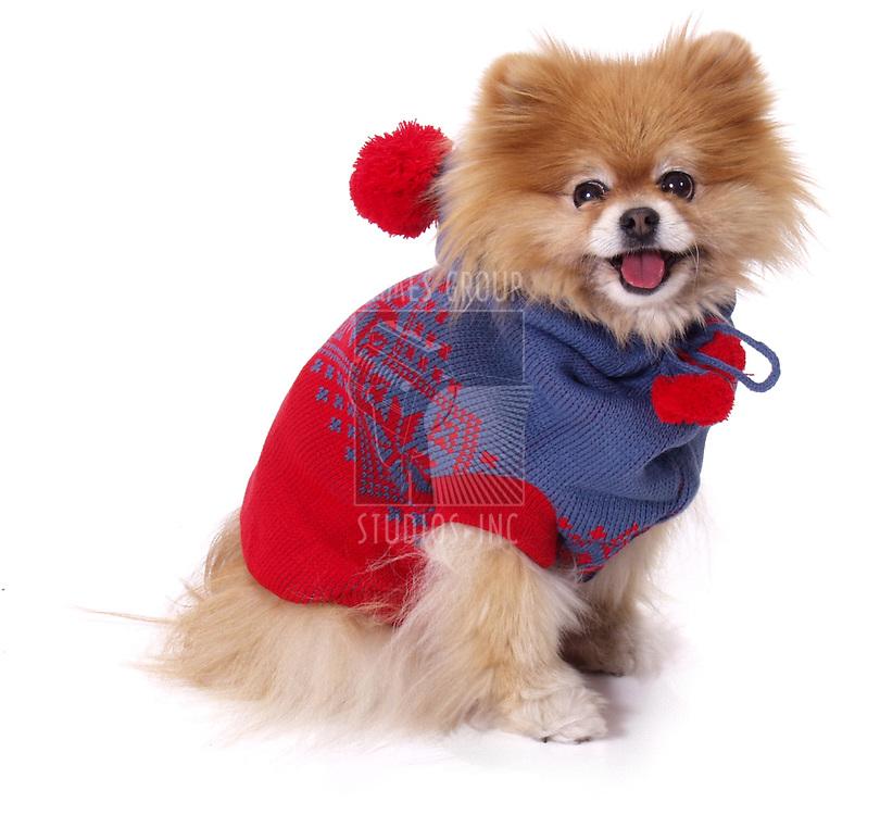 pomeranian wearing red sweater