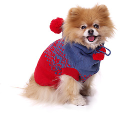 pomeranian wearing red sweater
