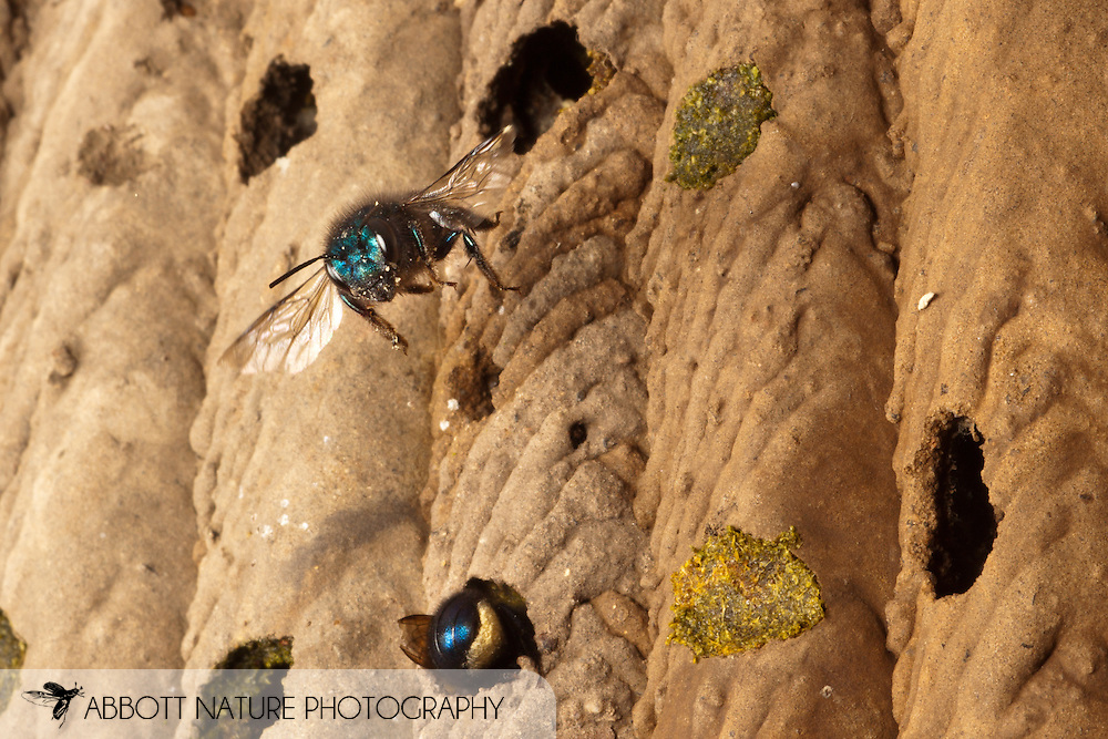 Osmia ribifloris (blueberry or mason bee) flying to old Trypoxylon nest<br /> TEXAS: Travis Co.<br /> Brackenridge Field Laboratory; Austin<br /> 8-March-2011<br /> J.C. Abbott