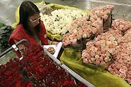 Il Mercato dei fiori di Sanremo *** Local Caption *** Nella foto una dipendente controlla la merce<br /> <br /> The flower market of Sanremo *** Local Caption *** In the photo an employee to check the cargo