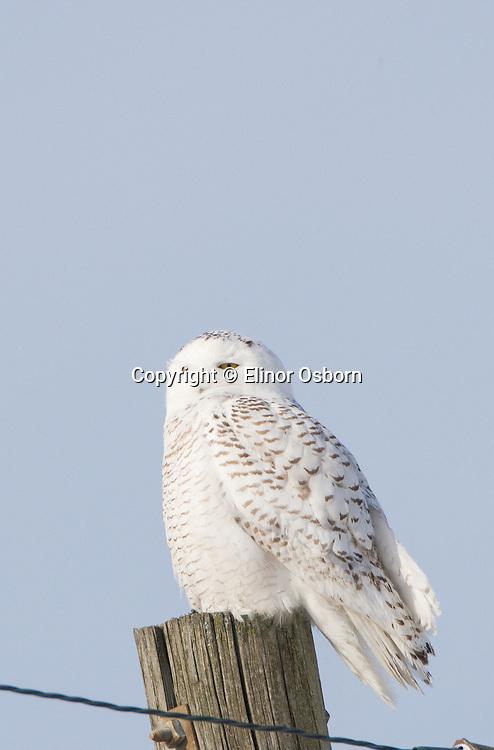 Snowy Owl in morning sun