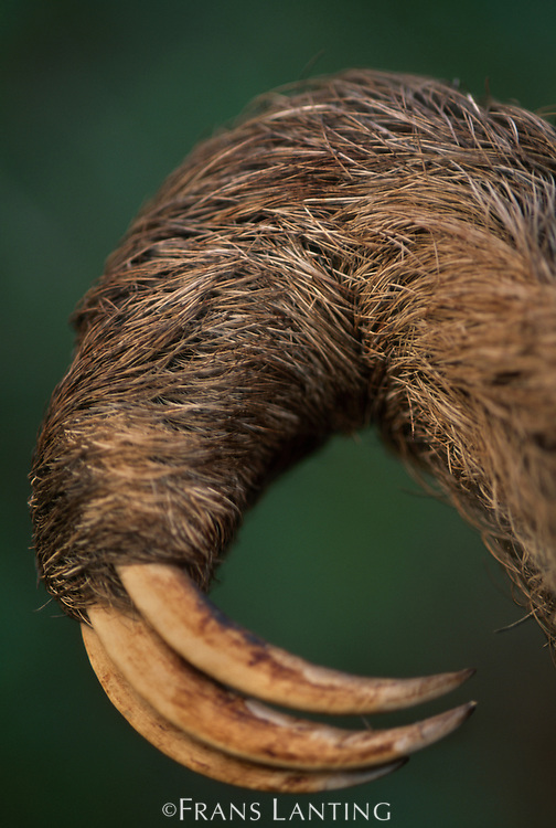 Three-toed sloth claw, Bradypus variegatus, Barro Colorado Island, Panama
