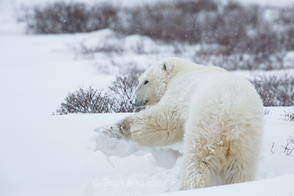 "This female polar bear (Ursus maritimus) digs a nest in the snow. The polar bears like to build ""nests"" as a shelter from the wind."