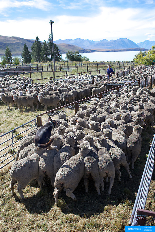 A sheep dog jumps on the back of the sheep as it helps to herd sheep during the New Zealand Farming and Horticulture, Sheep Sales, at Lake Tekapo in Mackenzie Country, South Island, New Zealand. 24th February 2011, Photo Tim Clayton.
