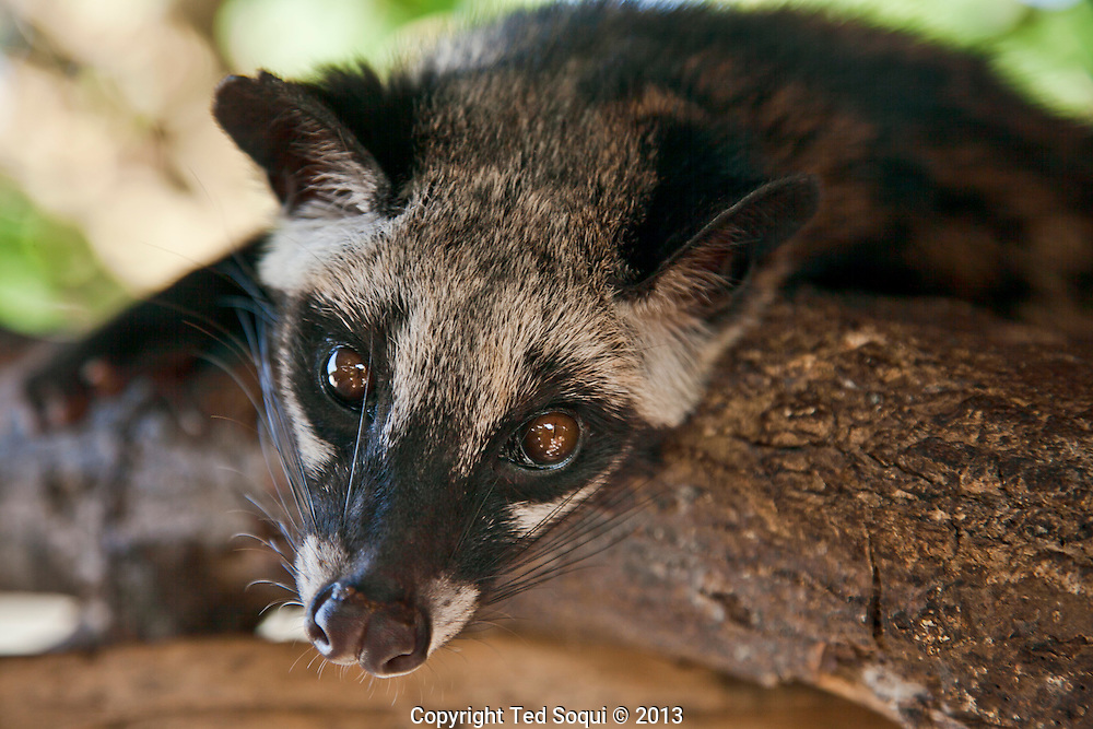 A Luwak or Civet.<br /> Coffee Luwak or otherwise know by Indonesians as Kopi Luwak. <br /> The Asian Civet, or locally known as the Luwak, is a cat-like animal that eats coffee Arabica cherries that pass through it's digestive tract where the cherries ferment and then are pooped out. The beans are usually intact and are cleaned and roasted to make the world's most expensive and prime coffee. One cup of Kopi Luwak can run up to $50 USD.