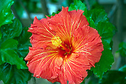 Red, Hibiscus,  genus of flowering plants, in the mallow family, Malvaceae, showing pistil and stamens
