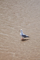 Seagull standing in crystal clear water.
