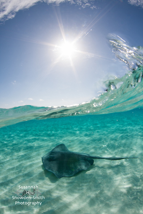 """Starry Stingray Splash"" - A stingray cruises beneath a breaking wave on a sunny day. Stingray Sandbar, Grand Cayman"