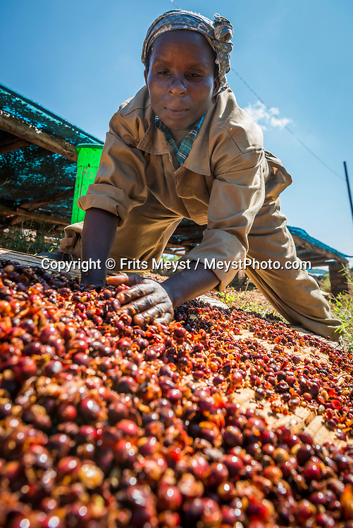 Malawi, July 2017. Coffee Harvest at Satemwa plantation. Living in former colonial heritage at Huntingdon House. As one of Malawi's first land claims registered in 1874, Satemwa Tea Estate in Thyolo district is among the country's longest established tea and coffee producers managed and operated by third generation members of the Cathcart Kay family. Malawi is known for its long rift valley and the third largest lake in Africa: Lake Malawi. Malawi is populated with friendly welcoming people, who gave it the name: the warm heart of Africa. In the south the lake make way for a landscape of valleys surrounded by spectacular mountain ranges. Photo by Frits Meyst / MeystPhoto.com