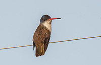 Violet-crowned Hummingbird (Amazilia violiceps) female perched on wire, Chapala, Jalisco, Mexico. Photo: Peter Llewellyn