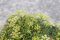 wild plant growing on  limestone rock on Inis Oirr the Aran Islands Galway Ireland
