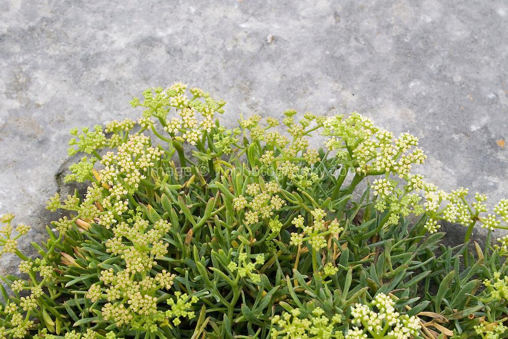 wild plant growing on  limestone rock on Inis Oirr the Aran Islands Galway Ireland