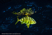 A young Almaco Jack, Seriola rivoliana, feeds at night among the Sargassum far offshore Palm Beach, Florida, United States during a blackwater dive.
