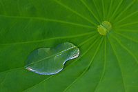 A large water drop on the leaf of a lily. Yichun, Heilongjiang, China.