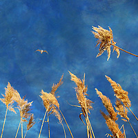 A seagull flying in blue sky above grass