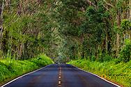 Tree tunnel of Eucalyptus trees line Maliuhi Road near Koloa in Kauai, Hawaii, USA