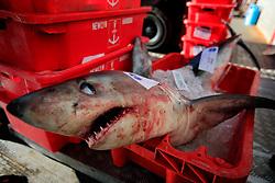 UK CORNWALL NEWLYN 10JUN08 -Handline caught Blue Shark after landing at Newlyn harbour in Cornwall, western England...jre/Photo by Jiri Rezac / WWF UK..© Jiri Rezac 2008..Contact: +44 (0) 7050 110 417.Mobile:  +44 (0) 7801 337 683.Office:  +44 (0) 20 8968 9635..Email:   jiri@jirirezac.com.Web:    www.jirirezac.com..© All images Jiri Rezac 2008 - All rights reserved.