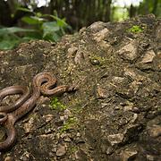 Barron's Kukri Snake (Oligodon barroni) in Sai Yok district, Kanchanaburi, Thailand