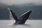 USA, Alaska, Tongass National Forest, Humpback Whale (Megaptera novaengliae) breaching in Frederick Sound
