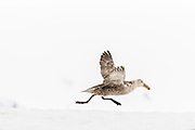 Southern Giant Petrel (M. giganteus) getting up speed for take off, Penguin Island, South Shetland Islands