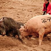 Bulls fight at the 2012 Cheongdo Bullfighting Festival in Cheongdo, South Korea.