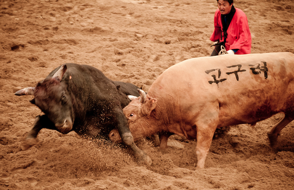 Bulls fight at the 2012 Cheongdo Bullfighting Festival in Cheongdo, South Korea.