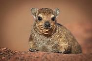 Africa, Namibia, Damaraland, Namib, Movani, Procavia capensis, Rock Hyrax,