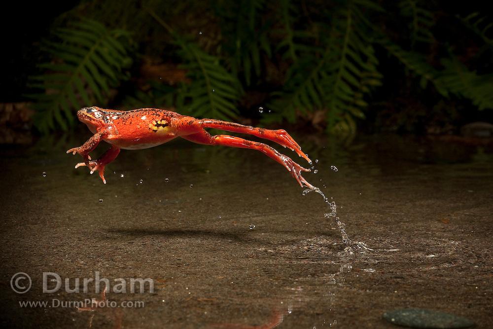 jumping red-legged frog (Rana aurora). Oregon. © Michael Durham / www.DurmPhoto.com