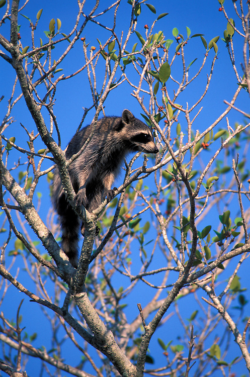 Raccoon (Procyon lotor) in tree, Florida, USA