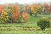 Fall Color pops through the fog Monday morning at Ramblin' Vewe Farm in Gilford.  (Karen Bobotas/for the Laconia Daily Sun)