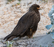 Striated caracara (Phalcoboenus australis) from Saunders Island, the Falkland Islands.