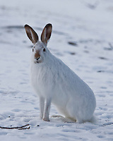 A white-tailed jackrabbit shows off its winter colors.