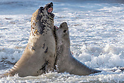 Fighting elephant seals (Mirounga leonina) from Sea Lion Island, the Falkland Islands.
