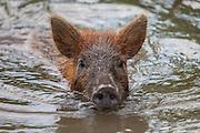 A juvenile Eurasian wild boar, swimming at Pearl Island Honey Swamp, Louisiana.