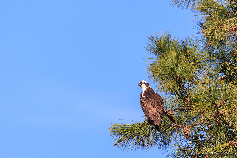 Osprey in a pine tree surveying its domain.