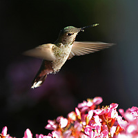 Hummingbird in Flight, colorful hummingbird nature photography artwork by Greater Boston photographer Juergen Roth. This beautiful ruby throated hummingbird was photographed in Mountain View, California just down the road of Google headquarters at the end of Shoreline Road where the beautiful Shoreline Park edges the bay. Photographing hummingbirds in flight takes lots of patience and trials but in the end I was rewarded with one of my most memorable wildlife experience and photo.<br /> This bird photography image is available as museum quality photography prints, canvas prints, acrylic prints or metal prints. Prints may be framed and matted to the individual liking and decorating needs:<br /> <br /> http://juergen-roth.pixels.com/featured/hummingbird-in-flight-juergen-roth.html<br /> <br /> Good light and happy photo making! <br /> <br /> My best, <br /> <br /> Juergen<br /> Website: www.RothGalleries.com<br /> Twitter: @NatureFineArt<br /> Facebook: https://www.facebook.com/naturefineart<br /> Instagram: https://www.instagram.com/rothgalleries