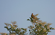 Greenfinch on lookout in a tree, looking at camera. One of a pair that were calling while lit by the late evening sun.