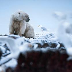 Polar Bear - Portfolio
