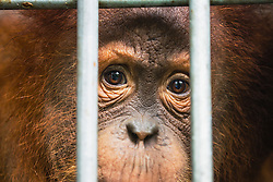 A young critically endangered Sumatran orangutan (Pongo abelii) that was rescued from illegal pet traders after its mother was killed looks out from his cage where he needs to live until he is old enough to be released safely back into the wild, Medan, Sumatra, Indonesia