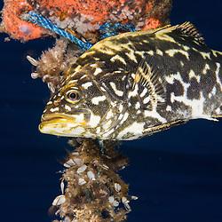 New Zealand Bass, Atlantic wreckfish, Polyprion americanus, Juvenile