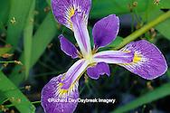 63899-05006 Blue Flag Iris (Iris virginica) in wetland, Marion Co.  IL