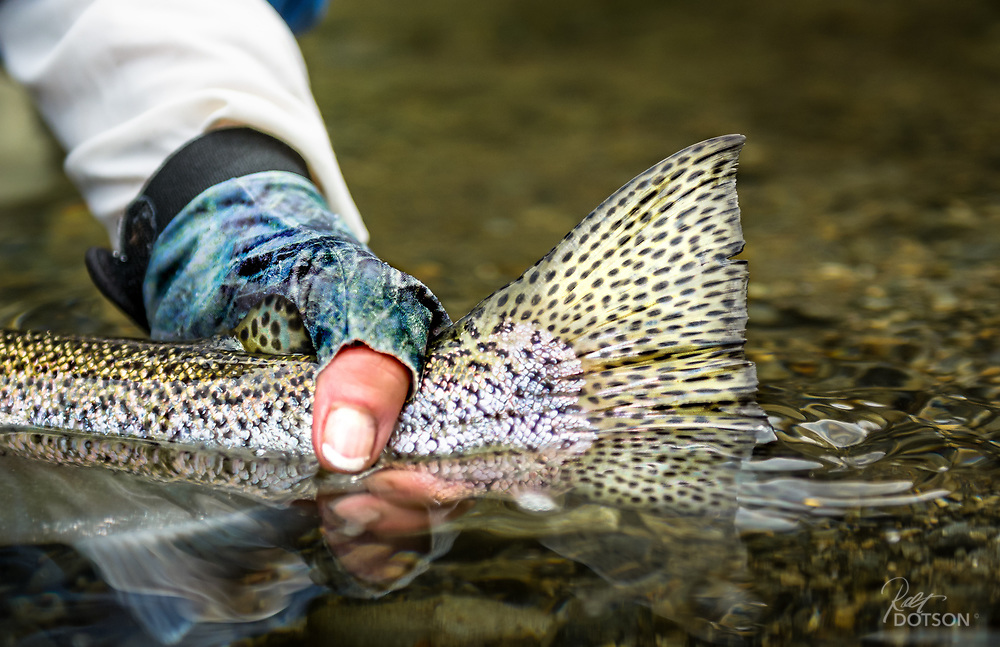 Hen rainbow trout from North Island of New Zealand