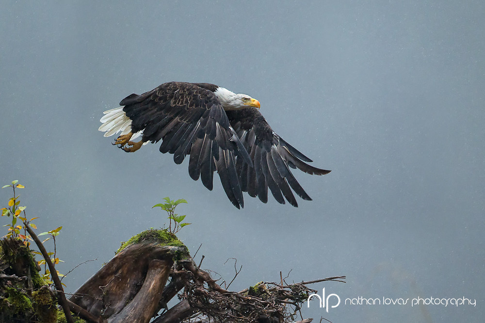 Bald Eagle flying over tree roots in rain;  British Columbia in wild.