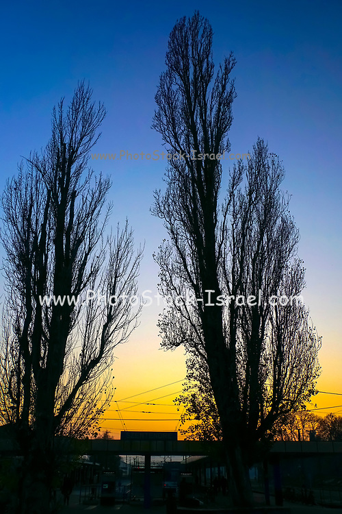 two deciduous trees at sunset