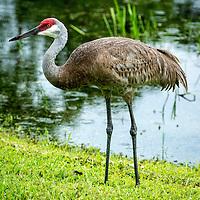 Sand Hill Cranes - Grus canadensis