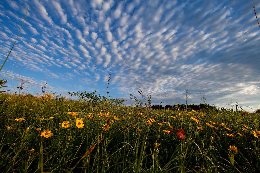 ICF_Prairie.-An amazing cloud formation over Prairie Coreopsis (Coreopsis palmata).  The International Crane Foundation's (ICF) mission is to conserve cranes and the ecosystems, or landscapes, on which they depend. In 1980 ICF began restoring native prairie, savanna, wetland, and woodland communities on the newly acquired 160 acre property north of Baraboo, Wisconsin.  The site now serves as an outdoor laboratory with over 100 acres of restored landscapes alongside another 60 acres of natural landscape, where the process of restoration can be explored and the lessons applied worldwide.